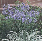 Agapanthus 'Silver Moon'