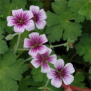 Geranium 'Storm Chaser' (04/09/2010)  added by Shoot)