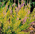 Calluna vulgaris 'Orange Queen'