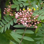 Sorbus Cashmiriana Rosiness (11/09/2010)  added by Shoot)
