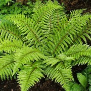 (23/08/2017) Polystichum polyblepharum added by Shoot)