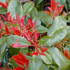 Photinia x fraseri 'Little Red Robin'