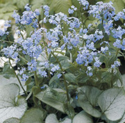 Brunnera macrophylla 'Looking Glass'