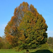 (14/03/2020) Carpinus betulus added by Shoot)