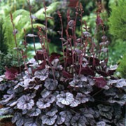Heuchera 'Prince' (24/01/2011)  added by Shoot)