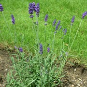 Lavandula 'Heavenly Blue' (26/01/2011)  added by Shoot)