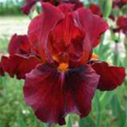 Iris 'Red Zinger'