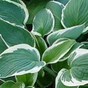Hosta Zager White Edge Plantain Lily Zagers Care Plant Varieties