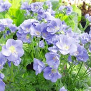 Polemonium 'Northern Lights'  (29/05/2011)  added by Shoot)