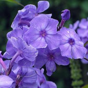 Phlox paniculata 'blue paradise' (29/05/2011)  added by Shoot)