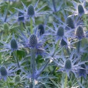 Eryngium 'Big Blue' (02/06/2011)  added by Shoot)
