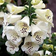 Digitalis purpurea 'Camelot Cream' (Camelot Series)