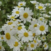 Tanacetum niveum 'Jackpot' (11/07/2011)  added by Shoot)