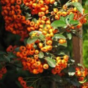 Pyracantha Orange Charmer (11/07/2011)  added by Shoot)