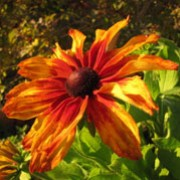 Rudbeckia hirta 'Cappuccino' (11/07/2011)  added by Shoot)