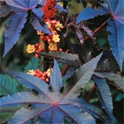 Ricinus communis 'Impala' (11/07/2011)  added by Shoot)