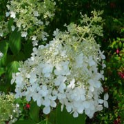 Hydrangea paniculata 'Dolly' (11/07/2011)  added by Shoot)
