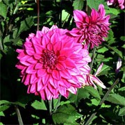 Dahlia 'Engelhardt's Matador' (25/07/2011)  added by Shoot)