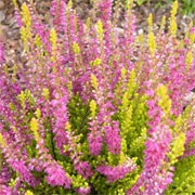 Calluna vulgaris 'Con Brio' (Heather 'Con Brio') (29/07/2011)  added by Shoot)