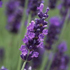 Lavandula angustifolia 'Twickel Purple'