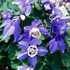 Aquilegia flabellata 'Cameo Blue and White' (Cameo Series)
