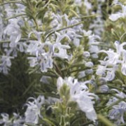 'Miss Jessopp's Upright' is a compact, upright, evergreen shrub with narrow, aromatic, dark green leaves and small, light blue flowers in spring and summer. Rosmarinus officinalis 'Miss Jessopp's Upright' added by Shoot)