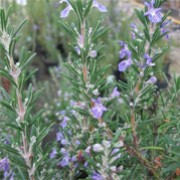 Rosmarinus officinalis 'Sissinghurst Blue'  (21/12/2011)  added by Shoot)