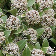 'Fragrans' is a small, bushy, evergreen shrub with aromatic, glossy, dark-green leaves and fragrant, white, male flowers in spring. Skimmia japonica 'Fragrans' added by Shoot)