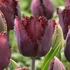 Tulipa 'Black Jewel'