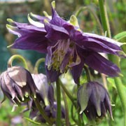 Aquilegia vulgaris var. stellata 'Blue Fountain' (29/11/2011)  added by Shoot)