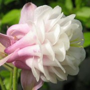 Aquilegia 'Flamboyant' (29/11/2011)  added by Shoot)