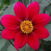 Dahlia 'Twyning's Aniseed' (30/11/2011)  added by Shoot)