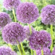 Allium 'Carlito' (17/12/2011)  added by Shoot)