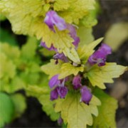 Lamium maculatum 'Cannon's Gold' (20/12/2011)  added by Shoot)