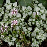 Lamium maculatum 'Pink Nancy' (20/12/2011)  added by Shoot)