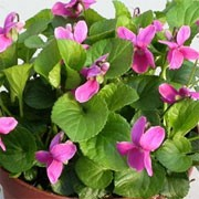 Viola 'Miracle Classy Pink' (Miracle Series) (05/01/2012)  added by Shoot)
