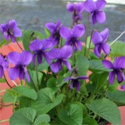 Viola 'Miracle Intense Blue' (Miracle Series) (05/01/2012)  added by Shoot)