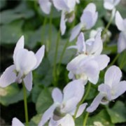 Viola 'Miracle Ice White' (Miracle Series) (05/01/2012)  added by Shoot)
