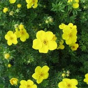 Potentilla fruticosa 'Coronation Triumph' (10/01/2012)  added by Shoot)