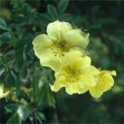 Potentilla fruticosa 'Friedrichsenii' (10/01/2012)  added by Shoot)