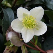 Helleborus x nigercors 'Alabaster' (11/01/2012)  added by Shoot)