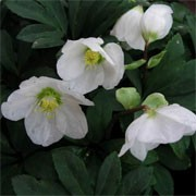 Helleborus x nigercors 'Vulcan Beauty' (11/01/2012)  added by Shoot)