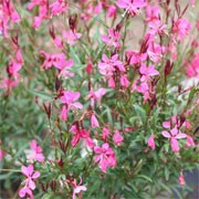 Gaura lindheimeri Belleza Series (11/01/2012)  added by Shoot)