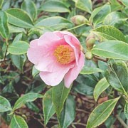 Camellia x williamsii 'Bow Bells' (12/01/2012)  added by Shoot)