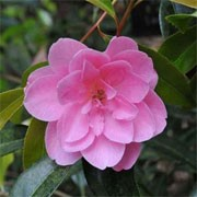 Camellia x williamsii 'Lady's Maid' (12/01/2012)  added by Shoot)