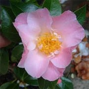 Camellia x williamsii 'Tiptoe' (13/01/2012)  added by Shoot)