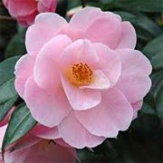 Camellia x williamsii 'Clarrie Fawcett' (13/01/2012)  added by Shoot)