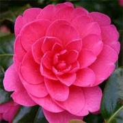 Camellia x williamsii 'Jean Claris' (13/01/2012)  added by Shoot)