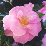 Camellia x williamsii 'Mildred Veitch' (13/01/2012)  added by Shoot)