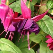 Fuchsia 'Paul Fisher' (28/01/2012)  added by Shoot)